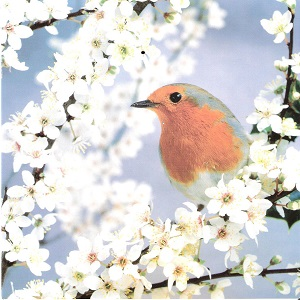 robin, blackthorn resized